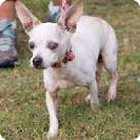 Chihuahua Mix Dog for adoption in Mount Pleasant, South Carolina - Pearl