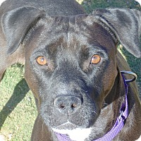 Labrador Retriever Mix Dog for adoption in Las Cruces, New Mexico - Schatzki
