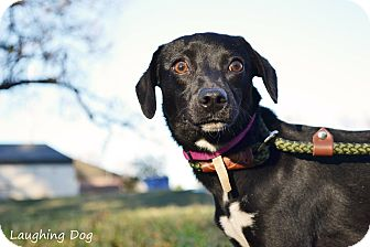 Italian Greyhound/Terrier (Unknown Type, Small) Mix Dog for adoption in Stillwater, Oklahoma - Dinky