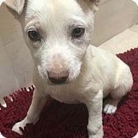 Adopt A Pet :: Dakota - Tucson, AZ