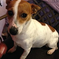 Jack Russell Terrier/Parson Russell Terrier Mix Dog for adoption in Hagerstown, Maryland - Evee