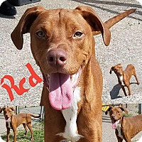 Adopt A Pet :: Red - Henderson, KY