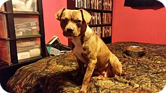 Chihuahua/Pug Mix Dog for adoption in Loveland, Ohio - Mama Bear