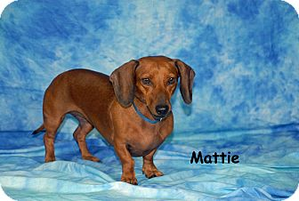 Dachshund Dog for adoption in Ft. Myers, Florida - Mattie