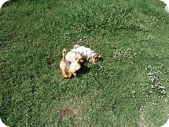 Corgi Dog for adoption in Inola, Oklahoma - Sheila