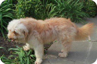 Wheaten Terrier Mix Dog for adoption in Norwalk, Connecticut - Herbie -adoption pending