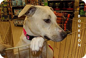 Labrador Retriever/American Pit Bull Terrier Mix Puppy for adoption in Silsbee, Texas - Bourbon