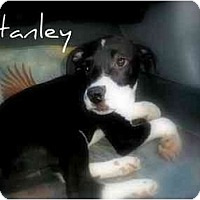Adopt A Pet :: Stanley - palm springs, CA