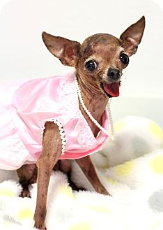 Chihuahua Mix Dog for adoption in College Station, Texas - Peep (3 pounds)