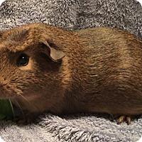 Adopt A Pet :: Daphne - Steger, IL