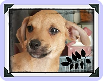 Chihuahua/Miniature Pinscher Mix Puppy for adoption in Los Angeles, California - Captain