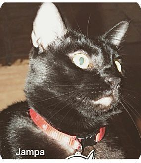 Domestic Shorthair Cat for adoption in Spring, Texas - Jampa