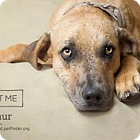 Adopt A Pet :: Arthur - Phoenix, AZ