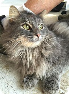 Domestic Longhair Cat for adoption in Flint HIll, Virginia - SHADOW