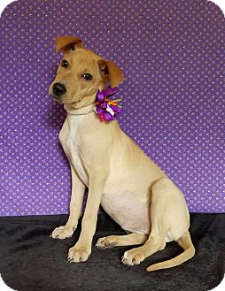 Labrador Retriever/Whippet Mix Puppy for adoption in Brewster, New York - Callie
