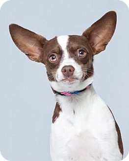 Terrier (Unknown Type, Medium)/Chihuahua Mix Dog for adoption in Pt. Richmond, California - CIRCUS MOM