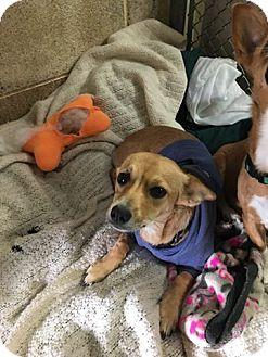 Chihuahua Mix Dog for adoption in Yucaipa, California - Honeybunch