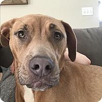 Adopt A Pet :: Nala (COURTESY POST) - Baltimore, MD