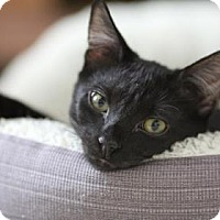Adopt A Pet :: Arthur - New York, NY