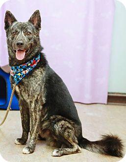 Husky/Labrador Retriever Mix Dog for adoption in Castro Valley, California - Dolda