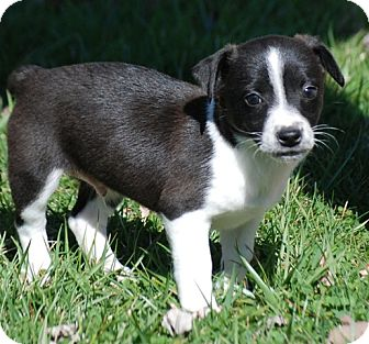 Jack Russell Terrier/Chihuahua Mix Puppy for adoption in Providence, Rhode Island - Chaplin