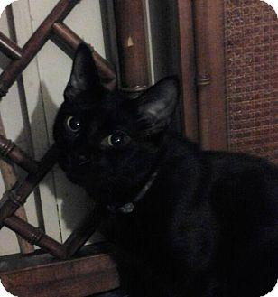 Domestic Shorthair Cat for adoption in Cranford/Rartian, New Jersey - Zipper