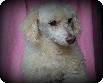 Poodle (Standard) Dog for adoption in Miami, Florida - Enzo