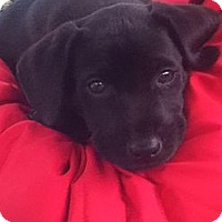 Adopt A Pet :: CHASE - Torrance, CA