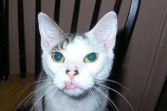 Domestic Shorthair Cat for adoption in Boca Raton, Florida - Dakota
