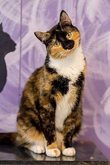 American Shorthair Cat for adoption in Holden, Missouri - Chloe