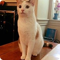 Adopt A Pet :: Peaches - Horsham, PA