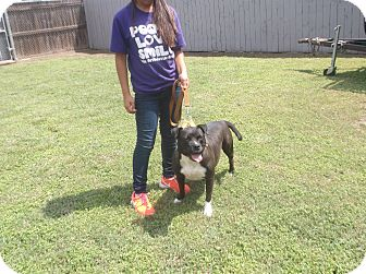 Pit Bull Terrier Mix Dog for adoption in San Antonio, Texas - Beauty