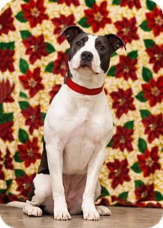 Pit Bull Terrier Mix Dog for adoption in Shakopee, Minnesota - Lucy the Pit Bull D3386