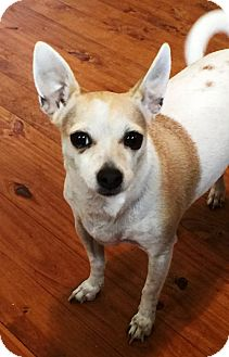 Chihuahua/Jack Russell Terrier Mix Dog for adoption in Santa Fe, Texas - Nancy--dainty sweetheart N
