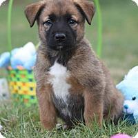 Adopt A Pet :: Liam - Dodson, MT