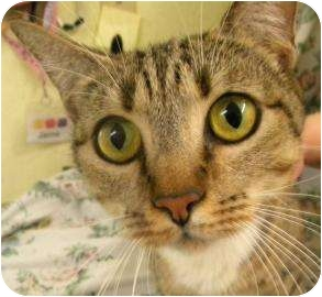 Domestic Shorthair Cat for adoption in Gainesville, Florida - Devine