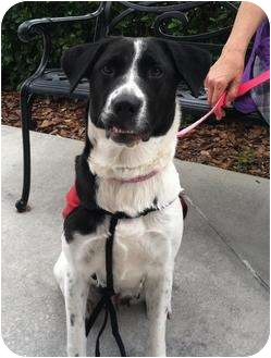German Shorthaired Pointer/Beagle Mix Dog for adoption in Dundee, Florida - Snoopy