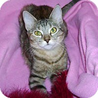 Domestic Shorthair Cat for adoption in Round Rock, Texas - Sandy