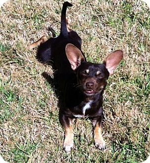 Chihuahua/Rat Terrier Mix Dog for adoption in Kingwood, Texas - Carlos