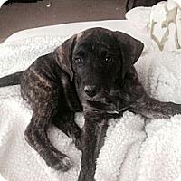 Adopt A Pet :: Koda - Kingwood, TX