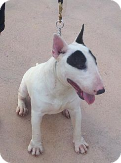 Bull Terrier Dog for adoption in Tampa, Florida - KHALIFA (DG)
