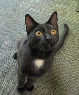Domestic Shorthair Cat for adoption in Atlanta, Georgia - 'Little Thug' Stanley