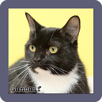 Domestic Shorthair Cat for adoption in Aiken, South Carolina - Gandalf