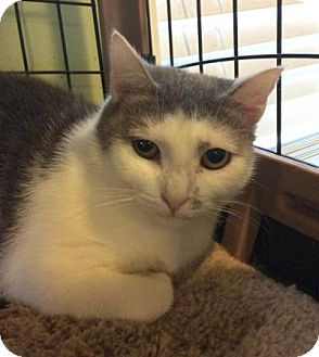 Domestic Shorthair Cat for adoption in Breinigsville, Pennsylvania - Melanie