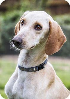 Saluki/Hound (Unknown Type) Mix Dog for adoption in El Cajon, California - Bubba Do