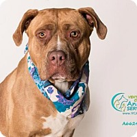 Pit Bull Terrier Dog for adoption in Camarillo, California - *BRANDY