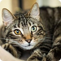Adopt A Pet :: Icarus - Incline Village, NV