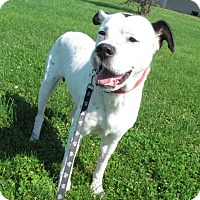 Adopt A Pet :: Jerry Joe Jack - House Springs, MO
