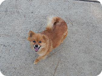 Pomeranian Mix Dog for adoption in Adamsville, Tennessee - Pom Pom