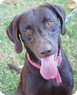 Labrador Retriever Mix Dog for adoption in Red Bluff, California - Brick